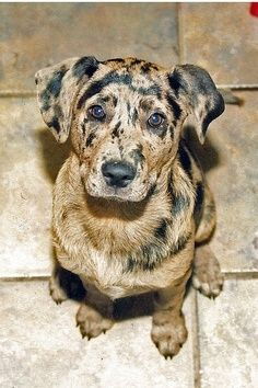 catahoula leopard hound mix this almost look like my doggy! Cute Puppies, Cute Dogs, Dogs And Puppies, Doggies, Baby Dogs, Love My Dog, Beautiful Dogs, Animals Beautiful, Catahoula Mix