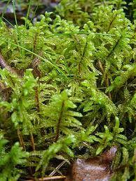 väggmossa Green And Grey, Herbs, Herb, Medicinal Plants