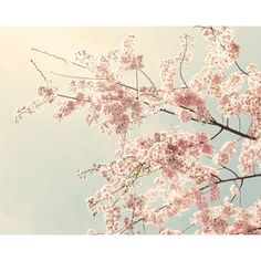Cherry Blossom Photography, Cherry Blossom Art, Pink Wall Art, Cherry... ❤ liked on Polyvore featuring home, home decor, wall art, backgrounds, filler, photo, pictures, photo picture, flower wall art and photography wall art