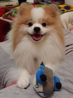 Marvelous Pomeranian Does Your Dog Measure Up and Does It Matter Characteristics. All About Pomeranian Does Your Dog Measure Up and Does It Matter Characteristics. The Animals, Cute Baby Animals, Fluffy Animals, Super Cute Dogs, Cute Pomeranian, Cute Dog Pictures, Smiling Dogs, Cute Dogs And Puppies, Little Dogs