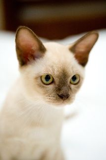 Aww! Looks like our lil man when he was a kitten. <3 Burmese cats
