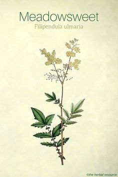 Meadowsweet Herb Uses, Side Effects and Health Benefits