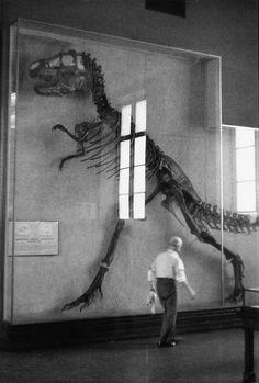 "kvetchlandia: ""Elliott Erwitt Museum of Natural History, New York City 1953 "" Street Photography, Art Photography, Jurrassic Park, Elliott Erwitt, Dinosaur Fossils, Dinosaur Life, Dinosaur Museum, Prehistoric Creatures, Tyrannosaurus Rex"