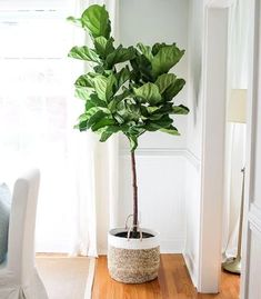 Our live, vibrant Fiddle Leaf Fig Tree is a perfect addition to any room & adds instant charm. Shop our fiddle leaf fig tree for sale today! Fiddle Leaf Fig Tree, Fiddle Fig, Indoor Trees, Indoor Plants, Indoor Garden, Outdoor Gardens, Design Thinking, Fig Tree For Sale, Fig Bush