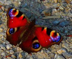 https://flic.kr/p/57Z46U | European peacock butterfly | Butterfly in the evening sun. Tagpfauenauge in der Abendsonne. Als langlebiger Schmetterling verfügt das Tagpfauenauge über einen sehr wirksamen Schutz gegen seine Fressfeinde. Im Ruhezustand mit zusammengeklappten Flügeln sehen Vertreter dieser Art eher wie dürre Blätter aus. Bei drohender Gefahr wird bei ihnen ein Bewegungsprogramm ausgelöst, bei dem sie ihre Flügel ruckartig auseinanderklappen, dabei ein zischendes Geräusch erzeugen…
