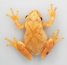 Spring Peeper - Pseudacris crucifer - Anita Smith Home Reptiles And Amphibians, Mammals, Geckos, Frosch Illustration, Pet Frogs, Amazing Frog, Frog And Toad, Beautiful Creatures, Pet Birds