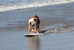 Tillman the famous bulldog surfs