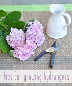 Tips for growing healthy hydrangeas.