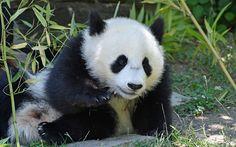 Lataa kuva panda, söpö karhu cub, eläintarha, metsä, Japani
