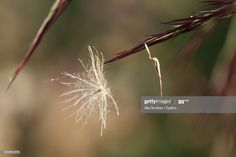 Closeup Of Blown Seed Against Blurred Background Photography #Ad, , #sponsored, #Seed, #Blown, #Closeup, #Photography Business Powerpoint Presentation, Blurred Background, Close Up, Seeds, Flowers, Plants, Photography, Photograph, Photography Business