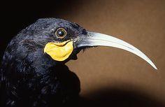 New Zealand Huia photographs. This bird is now extinct for more clickthisway Extinct Birds, Extinct Animals, Sea Birds, Wild Birds, Reptiles And Amphibians, Mammals, Information About Birds, Nz Art, Maori Art