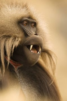 """Gelada Baboon By Joe McDonald The gelada, sometimes called the gelada baboon, is a species of Old World monkey found only in the Ethiopian Highlands, with large populations in the Semien Mountains. Theropithecus is derived from the Greek root words for """"beast-ape."""" #Animal #Wildlife #WildlifePhotography #photo #image"""