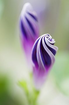 Purple Morning Glory Spirals Carnival of color: 30 of the most incredible multi-colored flowers in the world. Unusual Flowers, Amazing Flowers, Pretty Flowers, Purple Flowers, Purple Trees, Purple Art, Beautiful Pictures Of Flowers, Colorful Flowers, Hd Flowers
