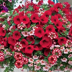 'Summer Romance' Collection: (2) 'Red Blues' Petunia, (2) 'Bright Eyes' Verbena, and (2) 'Coral Pink' Calibrachoa