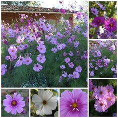 My cosmos are the mo