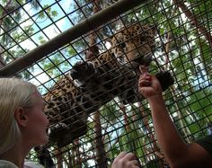 Feed a rescued jaguar at The Belize Zoo! #wildlife #animal #adventure #xoBelize