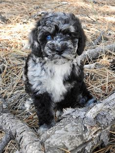 Labradoodles of Montana is dedicated to the breeding and the sale of miniature/medium australian labradoodles. See our website to see what puppies are for sale. Puppies With Blue Eyes, Australian Labradoodle Puppies, Labradoodles, New Puppy, Wall Collage, Montana, This Is Us, Pets, Animals