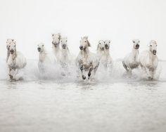 White stampede