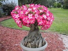 Adenium obesum or commonly known as the desert rose is considered as one of the favorite plants to grow as bonsai. How to take care adenium obesum bonsai? Desert Rose, Planting Roses, Plants, Succulents, Rose Plant Care, Beautiful Flowers, Adenium, Desert Rose Plant, Flower Seeds