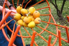 Much to Make With Loquats, a Little Respected Fruit | Leather | Susan Lutz