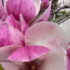 Magnolias are all ablush and buxum in their hour