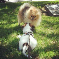 heididahlsveen:  Greeting the #pomeranian #atsjoo #dogs #dog #valp #puppy #hund #hunder