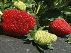 Use these steps to grow the biggest strawberries on the block.