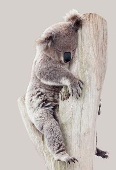 Sleepy Koala is sleepy