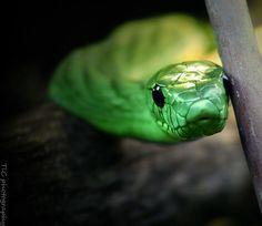 Green Mamba at the Fort Worth zoo in tx . This is probably one of My most favorite predator shots ! They are so deadly so beautiful Fort Worth Zoo, Land Turtles, Most Favorite, Far Away, Big Cats, Predator, Animal Photography, Reptiles, Wall Art