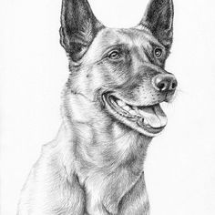 Malinois Dog Portrait