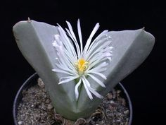Conophytum herreanthus {Hardy 637, RSA, Umdaus} | Flickr - Photo Sharing!