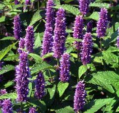 roślina hyzopu kwiatostan