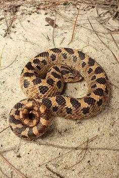 Southern Hognose Snake | Flickr - Photo Sharing!