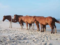 Horses on the beach at Assateague Island