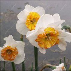 Ny produkt i onlineshoppen -  Narcissus, daffod....    Finns på  http://solpanelerna.kina-import.se/products/narcissus-daffodil-100-fron-8?utm_campaign=social_autopilot&utm_source=pin&utm_medium=pin