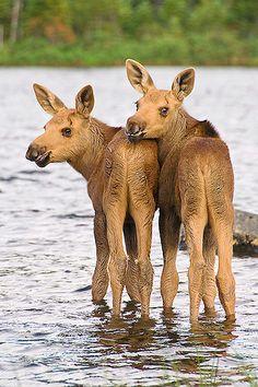 Best Buddies!!  - Twin Moose calves.