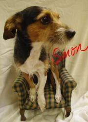 517//Simon//URGENT!!! 6 is an adoptable Jack Russell Terrier Dog in Youngstown, OH. CONTACT: stoohey@mahoningcountyoh.gov Available: 6/25   All dogs are spayed/neutered before you bring them home. $80 to the ve...