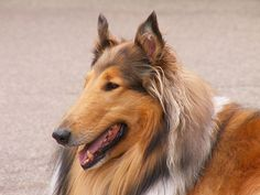 ROUGH COLLIE -- as if she is straight out of Lassie Come Home! I love collies, I love Lassie Come Home and I love books!!!!!!