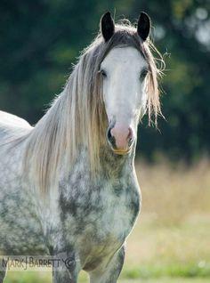 Dapple Gray Horse When I get a dressage horse, it's gotta be a gray.