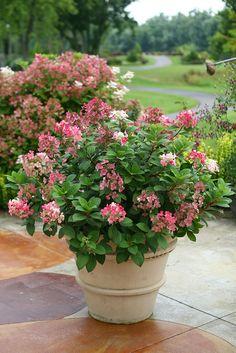 Little Quick Fire®  hydrangea is a dwarf version of the popular Quick Fire® hydrangea, reaching a mere 3-4' tall and wide.  http://emfl.us/BULd