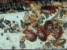Do You Have or Doubt of Bedbugs Attack? Contact BEDBUGS PEST CONTROL SERVICE http://ift.tt/1eIZPl4 at (905) 582 5502 or (289) 396 5426. Helping Eradicate Your Worst Bed Bugs Nightmares From Home or Business FAST.  Bedbugs are flat and tiny with six legs wingless and only like to go after blood from animals but prefer people since its a lot easier to penetrate the host. They turn rusty with reddish-brown color after eating a blood meal but generally are more of a white to light brown in…