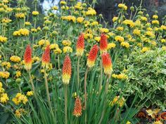 A bold planting of Jerusalem Sage (Phlomis lanata), Red Hot Pocker (Kniphofia uvaria) and Variegated Periwinkle (Vinca minor variegata) makes for a sunny setting. Design by Katrina Fairchild