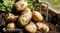 potatoes anti cancer
