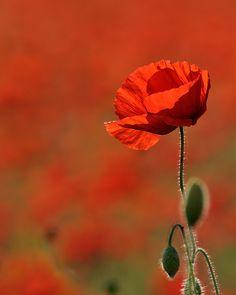 Red Poppies, Red Flowers, Beautiful Flowers, Macro Flower, My Flower, Nature Photos, Flower Arrangements, Drawings, Illustration