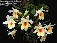 Den. margaritaceum ( Den. christyanum )