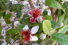 """Acca sellowiana or """"Feijoa"""" is an evergreen, perennial shrub or small tree, m in height, and is cultivated as an ornamental tree and for its fruit. Dry Garden, Gravel Garden, Garden Plants, Small Shrubs, Small Trees, Guava Plant, Pineapple Guava, Plantar, Plantation"""