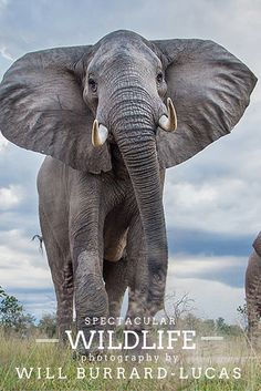 From pandas to penguins to Tasmanian wombats, British photographer Will Burrard-Lucas, travels the world to photograph wildlife in their natural habitats.