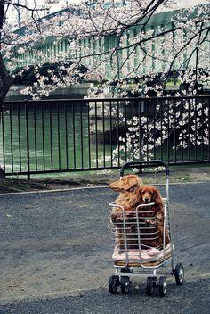 立犬櫻 | Flickr | m-louis