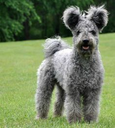 Hungarian Pumi - A medium-sized herding breed, the Pumi is know for their intelligence and active personality. The Hungarian Pumi is a terrier type dog that enjoys the job of herding cattle, sheep, and swine. Rare Dogs, Rare Dog Breeds, Unique Dog Breeds, Pumi Dog, Big Dog Toys, Hungarian Dog, Sweet Dogs, Dog Facts, Dog Cat