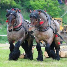 (86) ~Despre Cai~ (~About Horses~) - Photos Big Horses, Work Horses, Pretty Horses, Beautiful Horses, Animals Beautiful, Belgian Horse, Draft Horse Breeds, Horse Girl, Horse Love